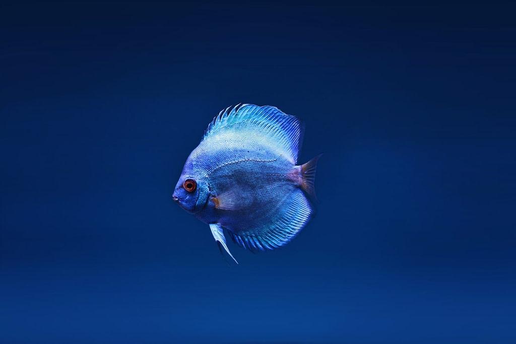 Close up photo of blue discus fish